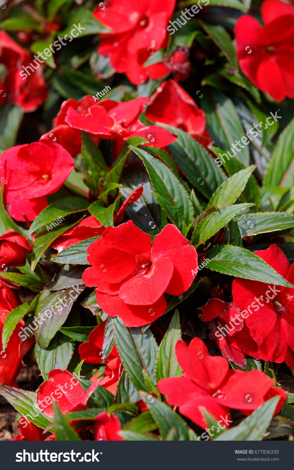 Beautiful Red New Guinea Impatiens Flowers Stock Photo Edit Now