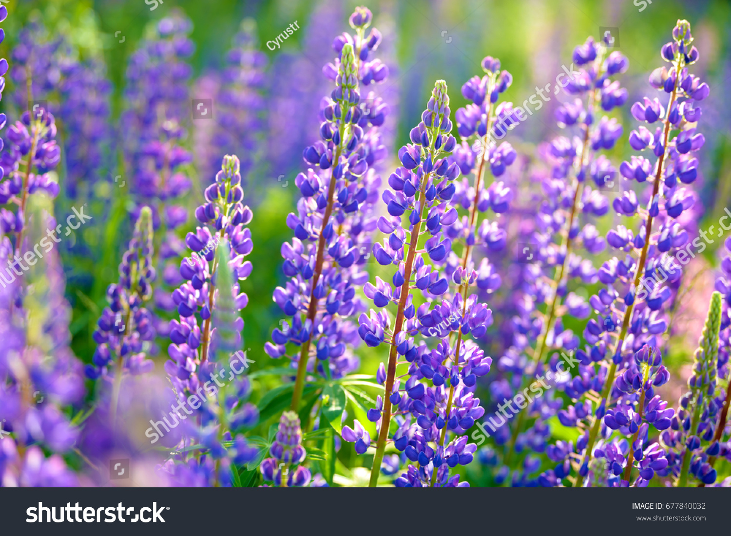 Lupinus Lupin Lupine Field With Pink Purple And Blue Flowers