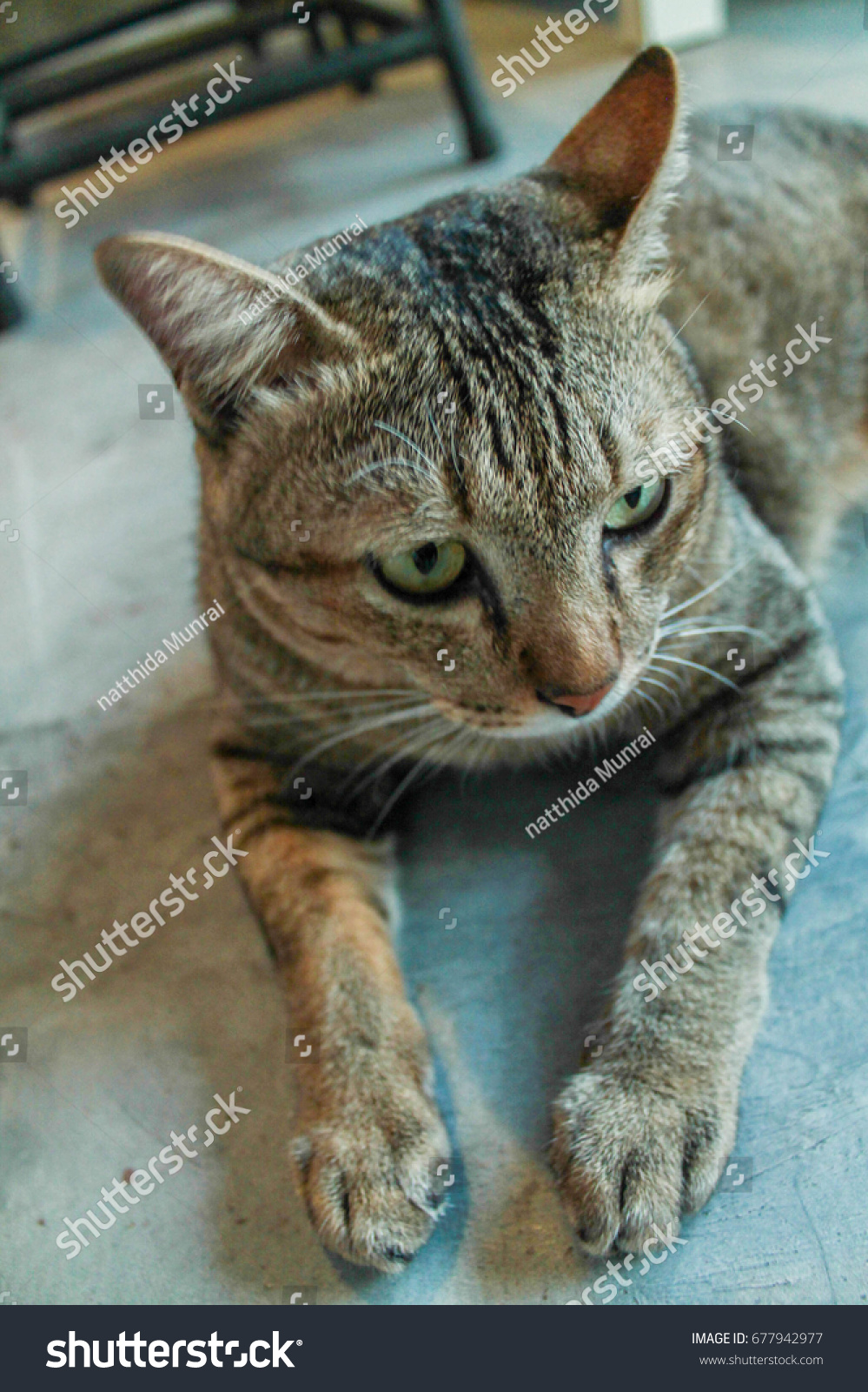 Cowardly Lion Cat Stock Photo Edit Now 677942977 Shutterstock The