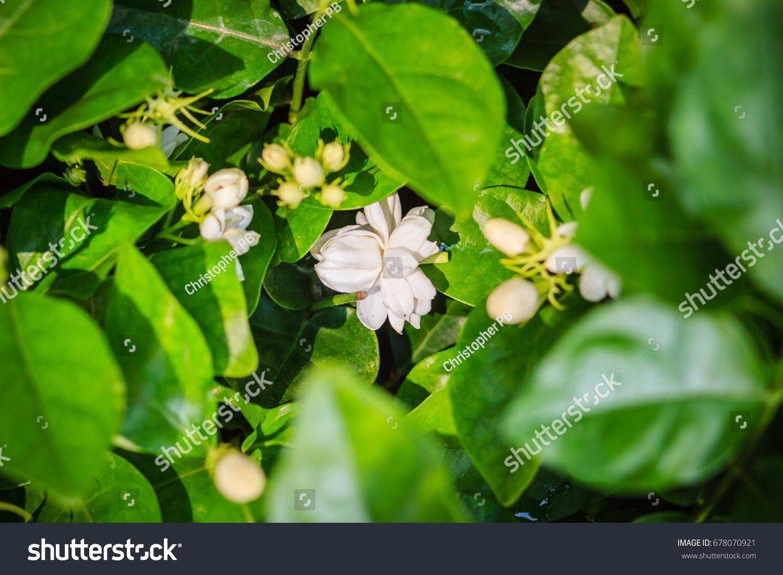 Cluster budding jasmine flower green garden stock photo royalty cluster of budding jasmine flower in the green garden background beautiful arabian jasmine jasminum izmirmasajfo