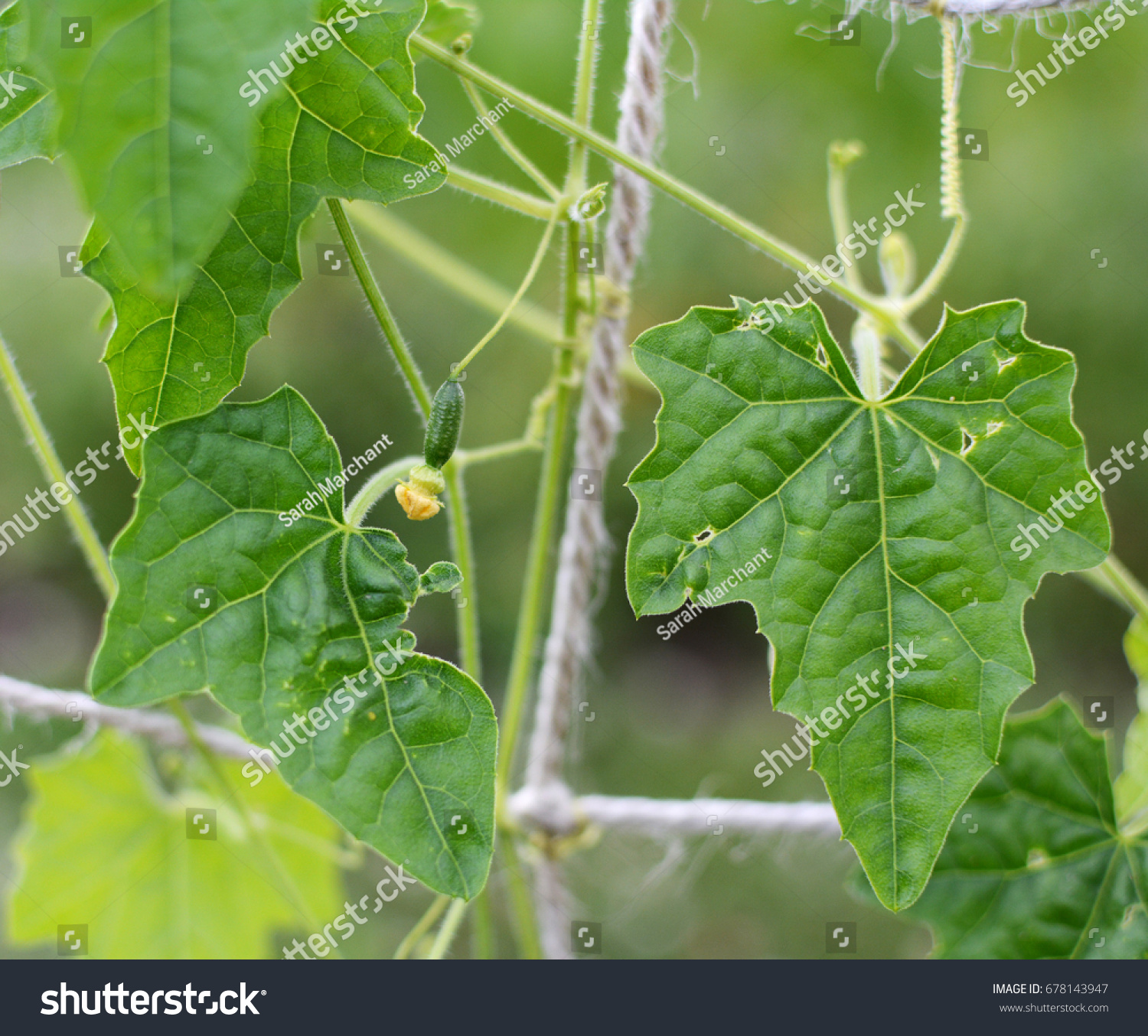 Small Cucamelon Yellow Flower Growing On Stock Photo Royalty Free