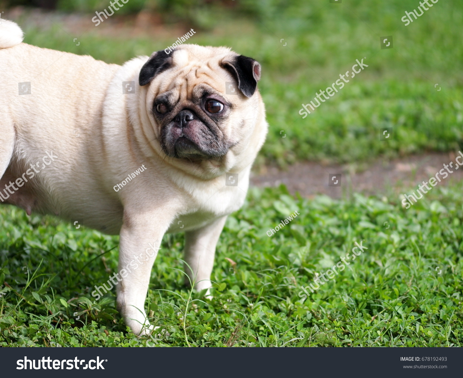 Portraits photo of a lovely white fat cute pug dog playing outdoor making sad and lonesome