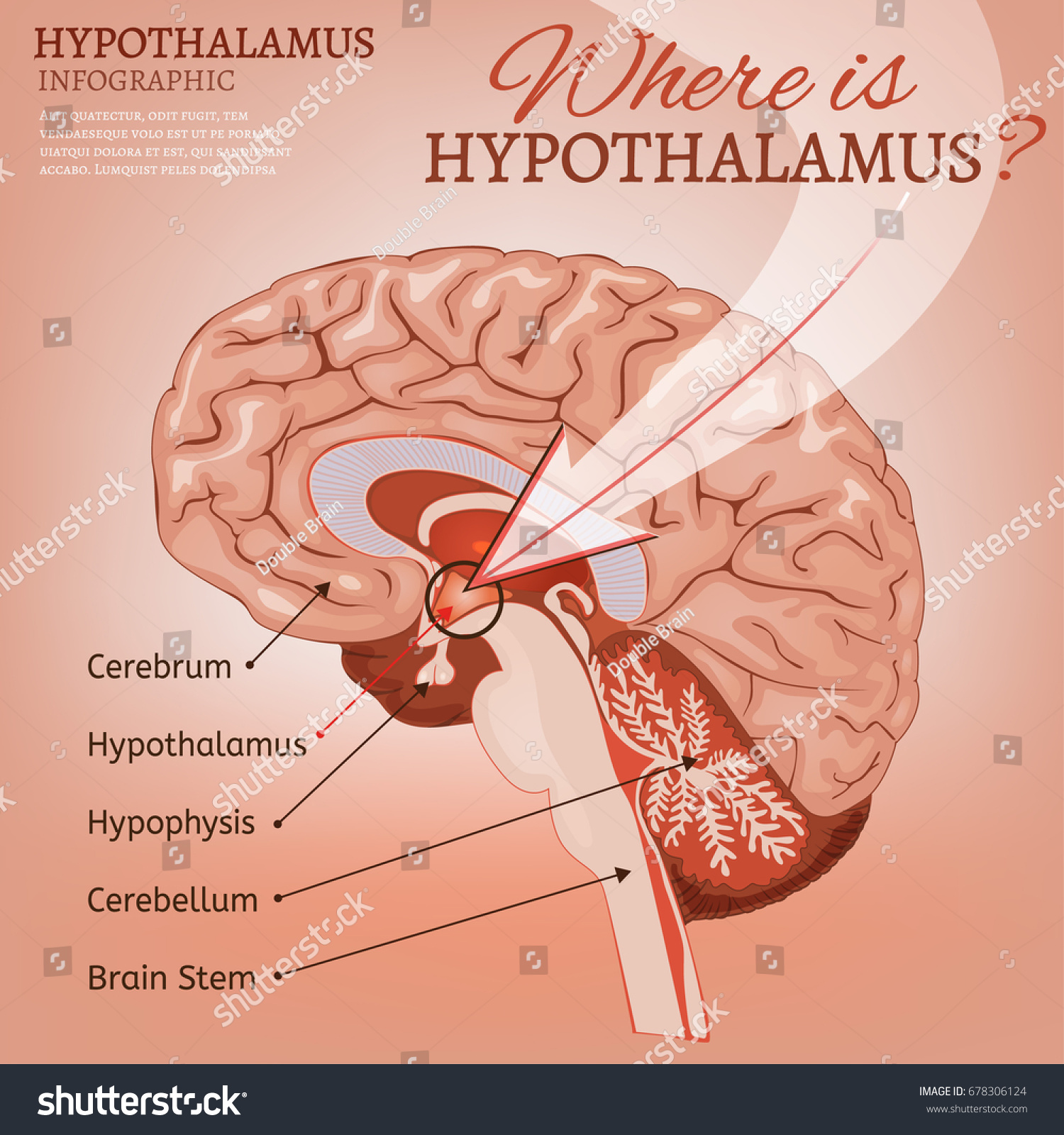 Hypothalamus Infographic Image Detailed Anatomy Human Stock Vector ...