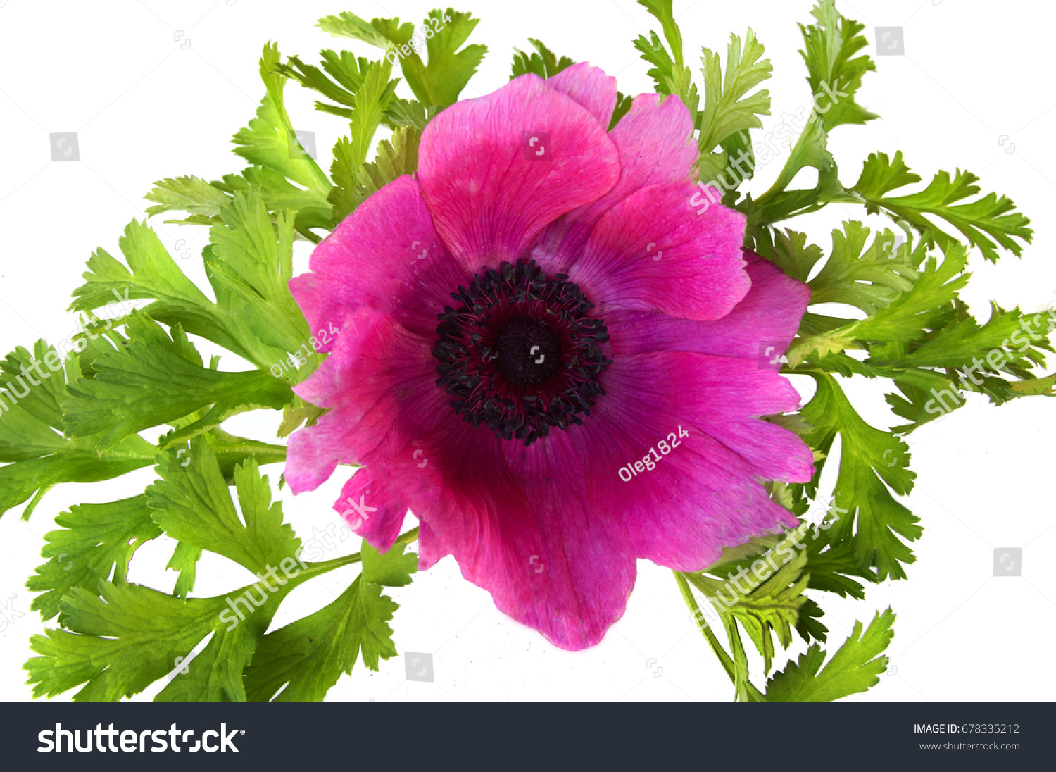 Composition Leaves Flower Anemone Coronaria On Stock Photo Edit Now