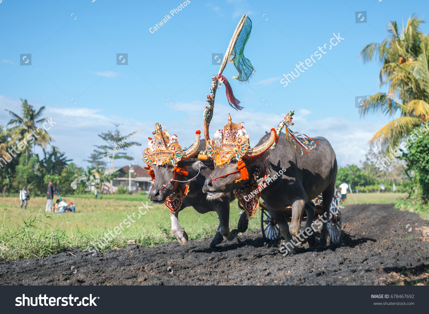 Traditional Bull Racing in Indonesia 29