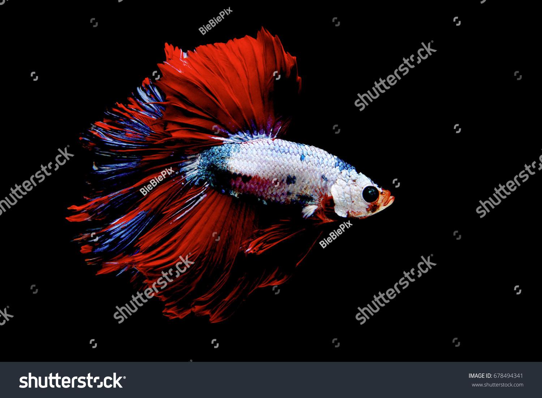 Siamese fighting fish (Halfmoon),fighting fish,Betta splendens | EZ ...