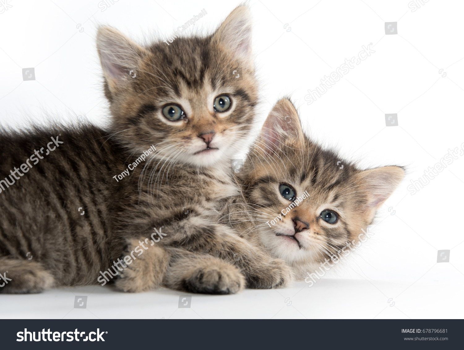 Two Cute Tabby Baby Kittens Playing Stock