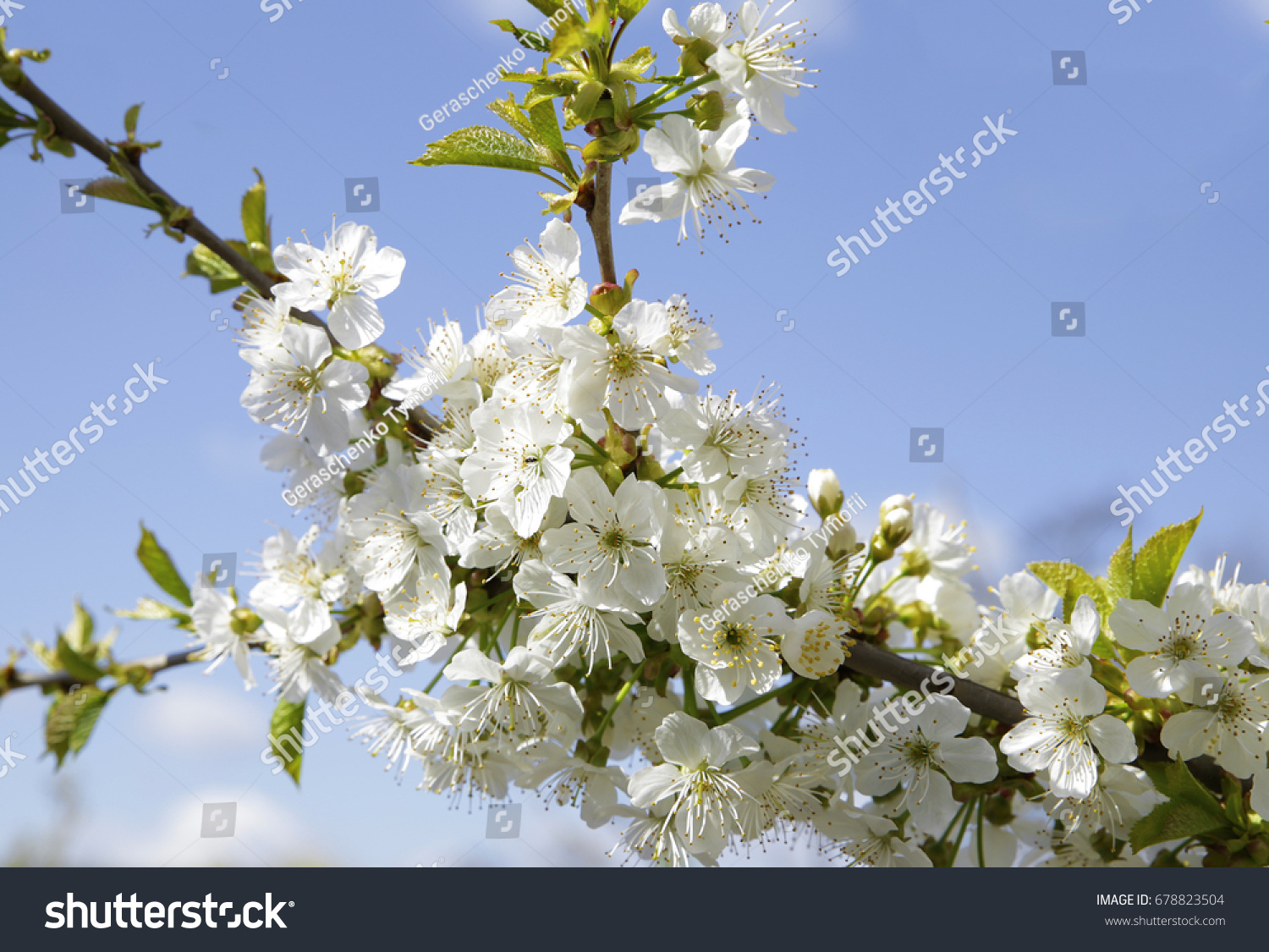 Colorful Flowering Trees In The Spring Photo For Micro Stock Ez Canvas
