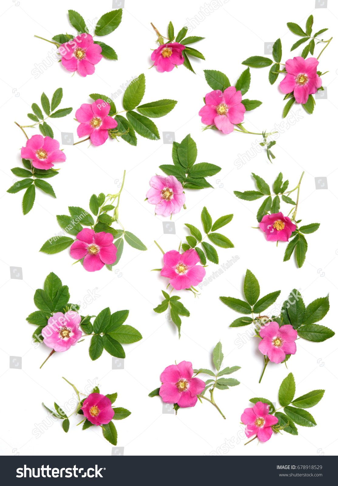 Floral Wallpaper Pink Rose Hips On Stock Photo Edit Now 678918529
