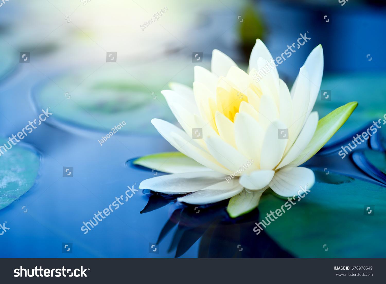 Beautiful White Lotus Flower Green Leaf Stock Photo Edit Now