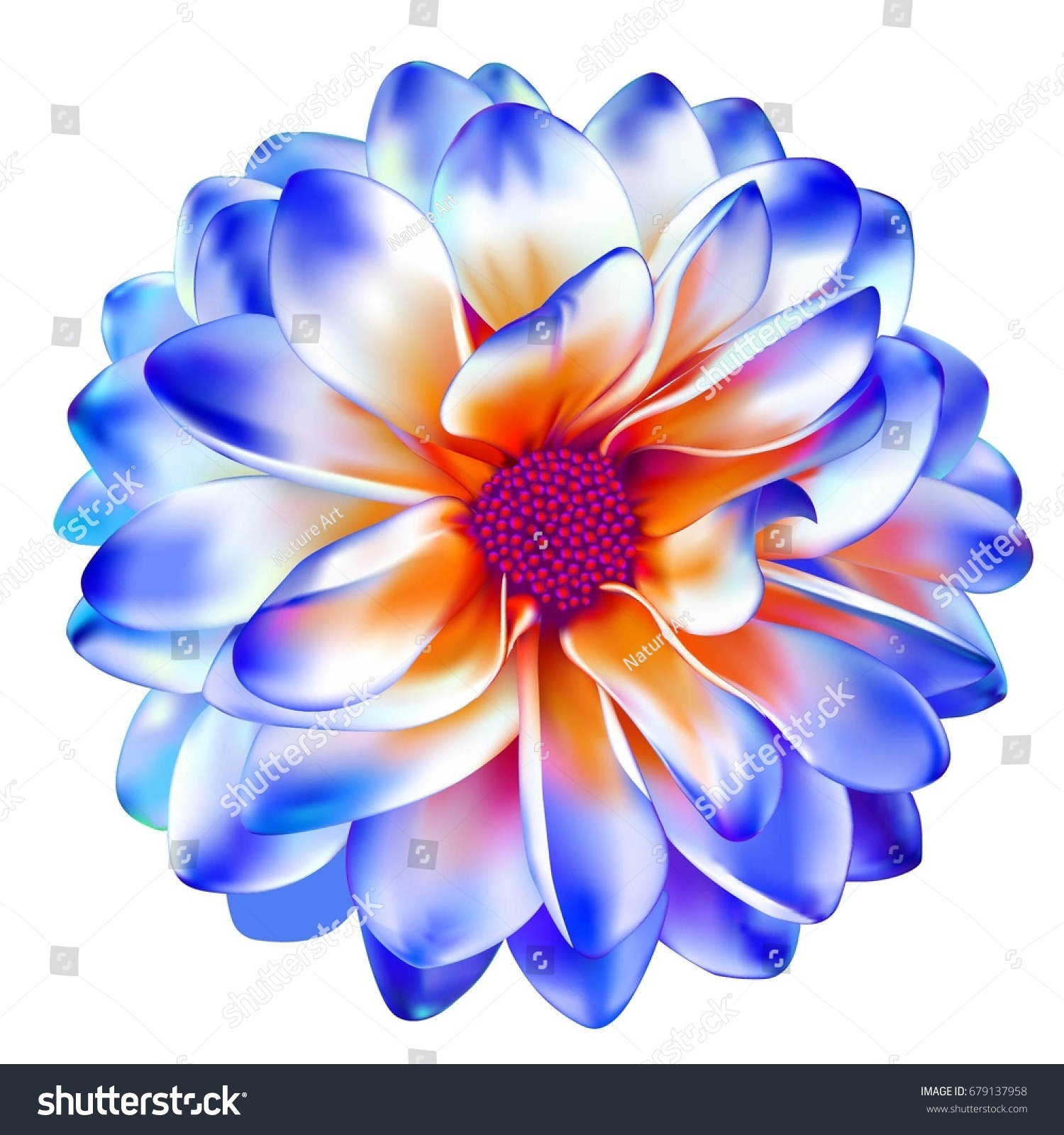 Luxurious Blue Red Garden Dahlia Flower Stock Vector Royalty Free