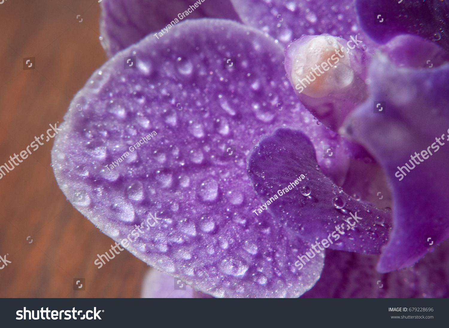 Orchid Raindrops Dew On Orchid Purple Stock Photo Edit Now