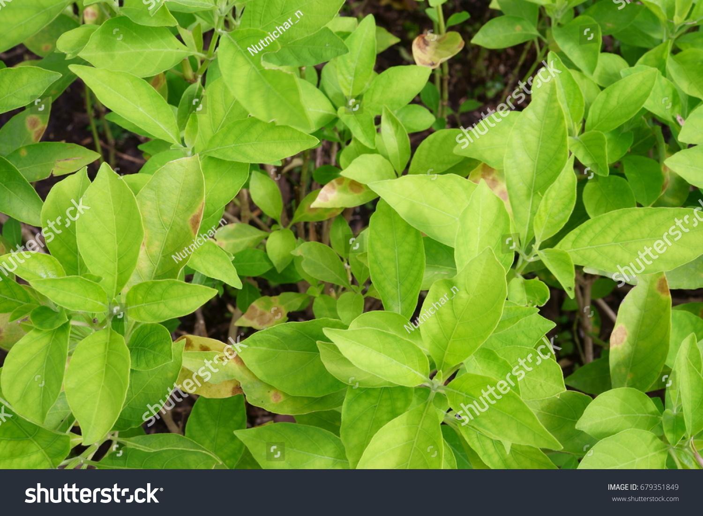 Leaves White Crane Flower Rhinacanthus Nasutus Stock Photo Royalty