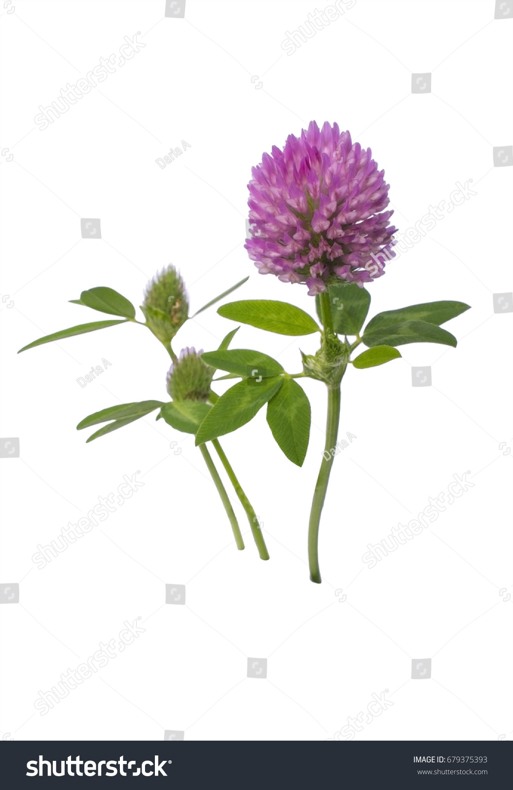 A Branch Of A Wild Red Clover Plant Isolated On A White Background