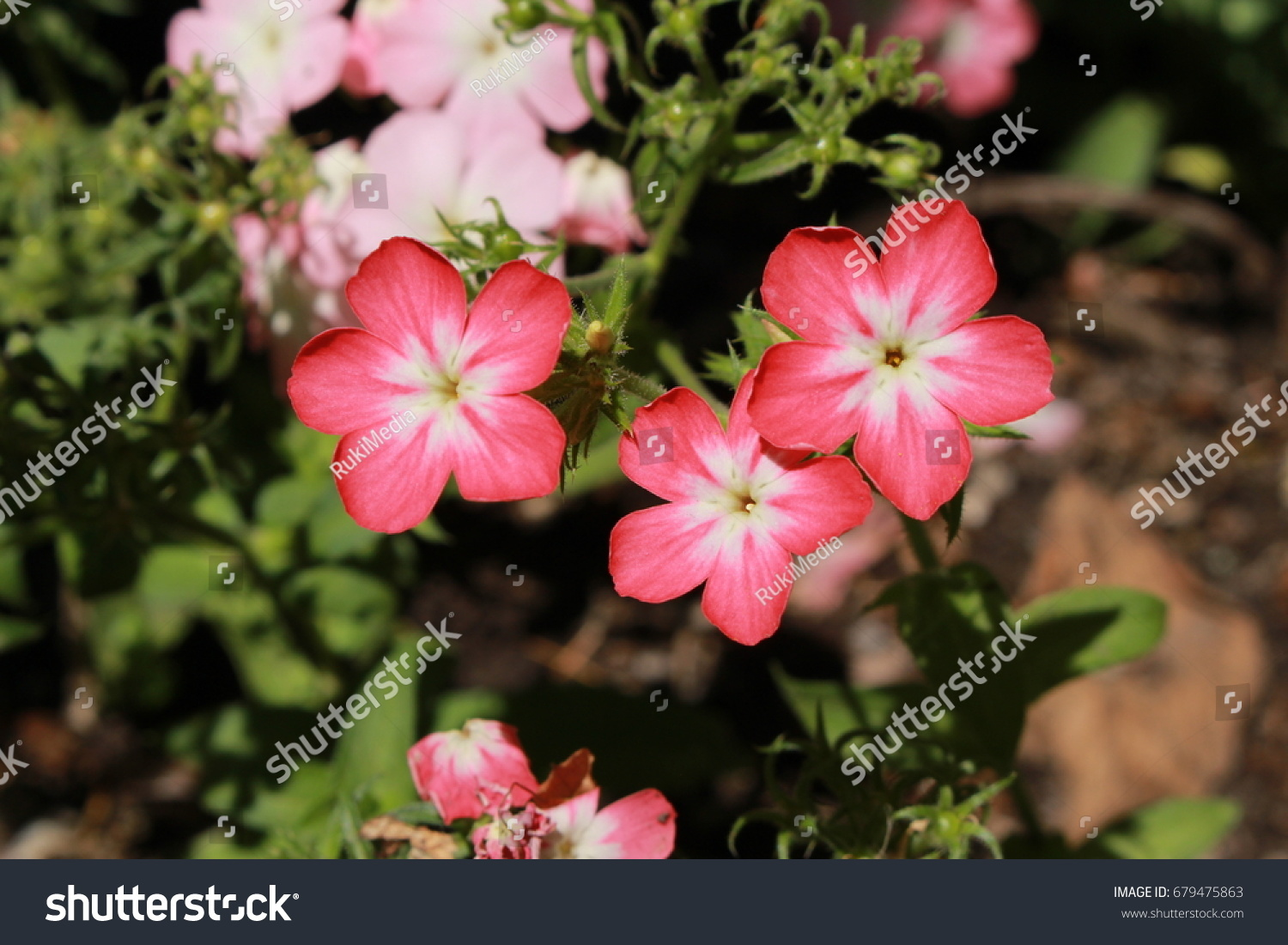Pink White Drummonds Phlox Flowers Or Stock Photo Download Now