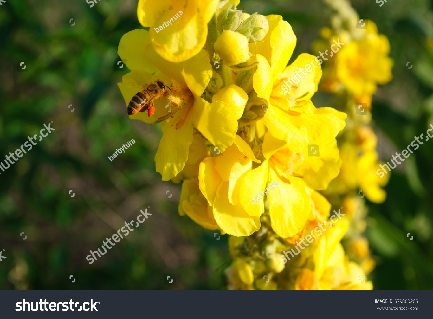 Verbascum Thapsus Yellow Flowers Of Common Mullein Ez Canvas