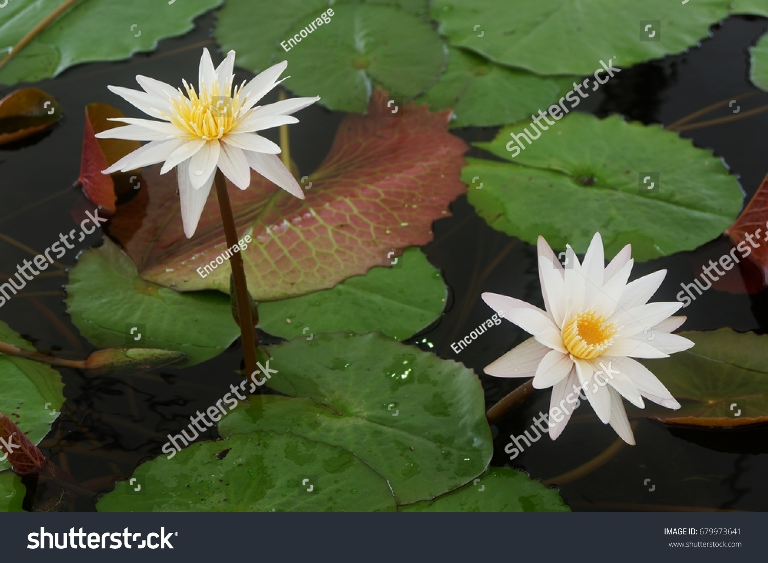 White lotus flower pink lotus flower stock photo edit now the white lotus flower and pink lotus flower are meaning purity and devotion izmirmasajfo