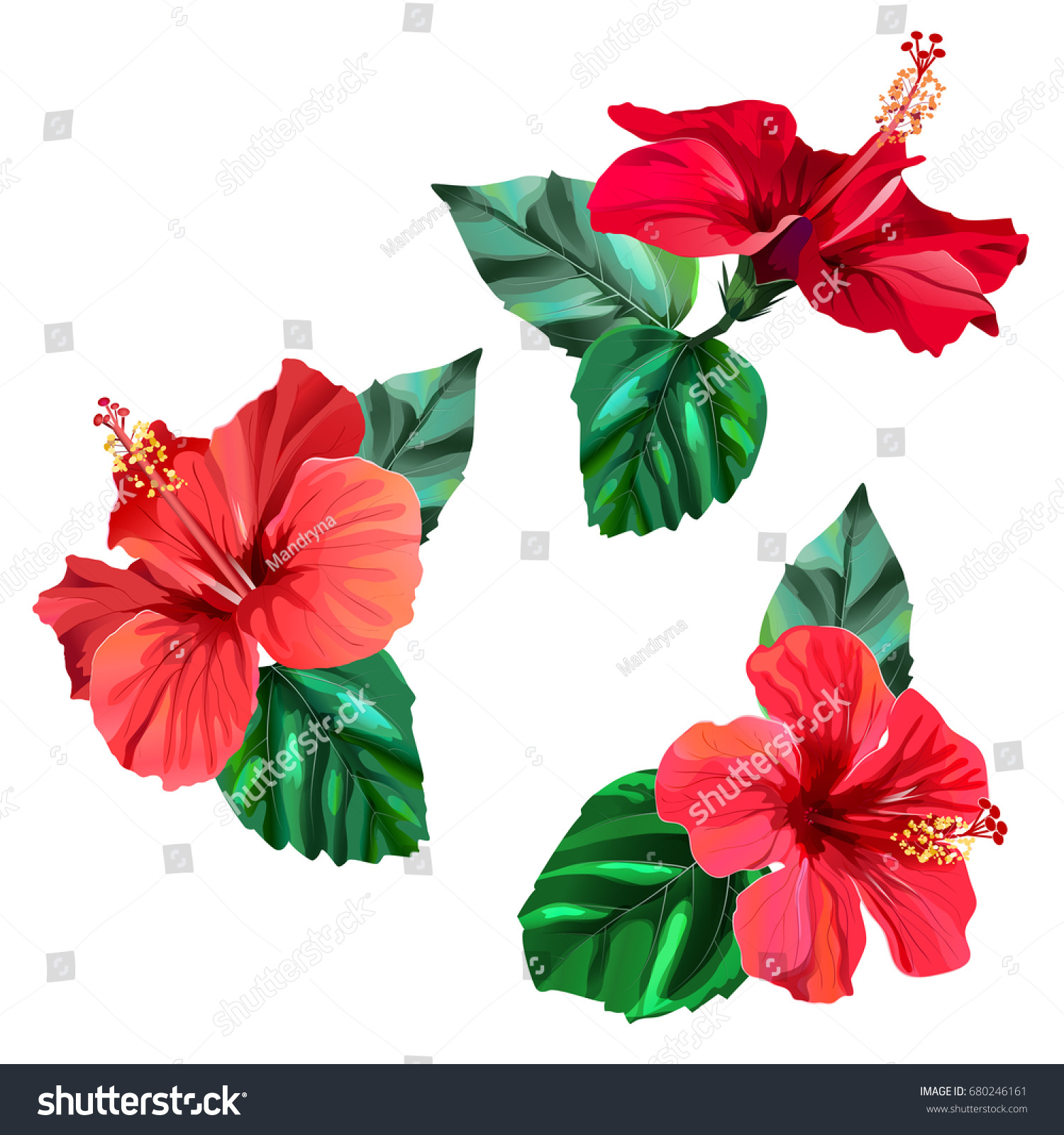 Three Beautiful Red Hibiscus Flowers Leaves Stock Vector Royalty