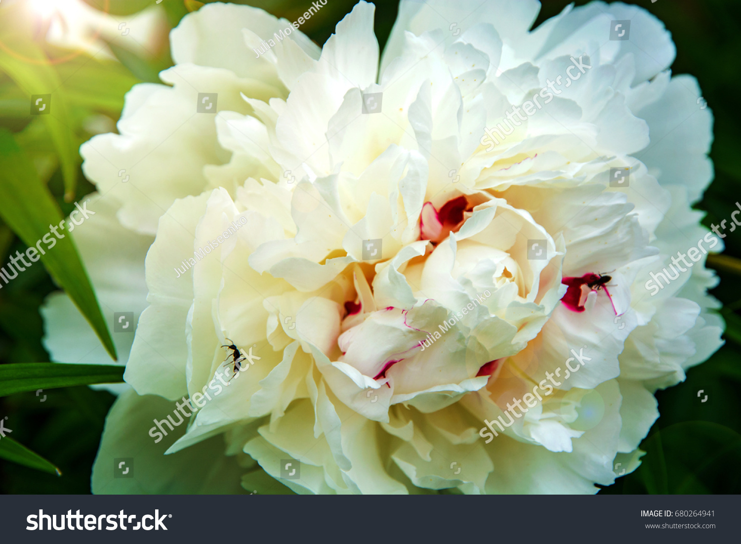 Large White Peonies Many Petals And Juicy Flower In The Bush Ez