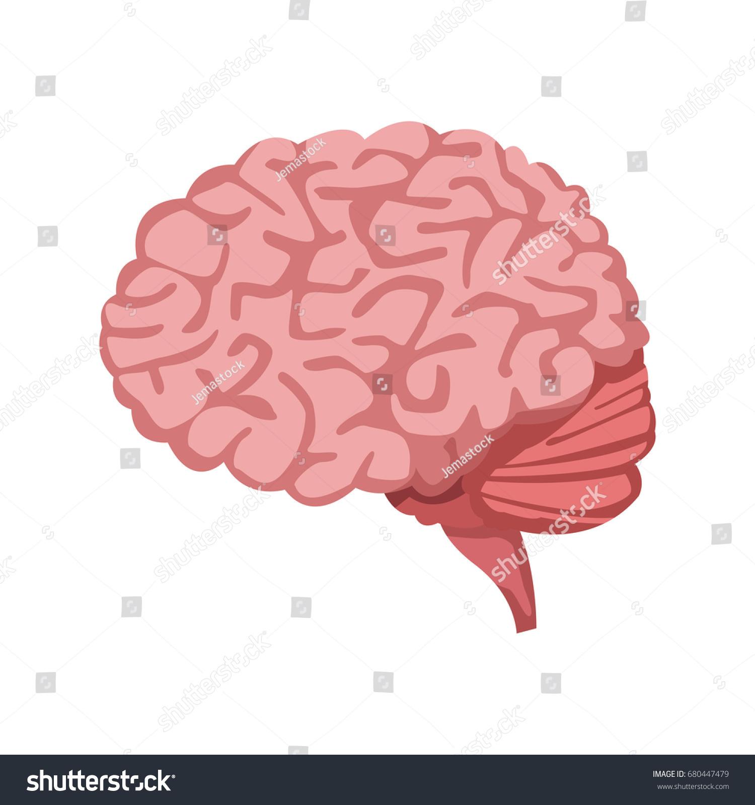 Human Brain Medical Healthy Memory Anatomy Stock Vector 680447479