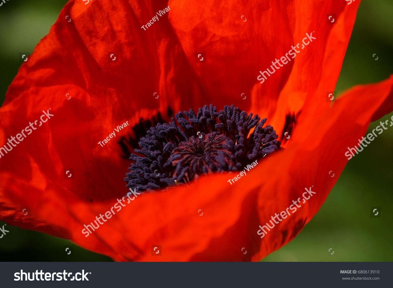 Aye Poppy Macro Shot Single Bright Stock Photo Edit Now 680613910