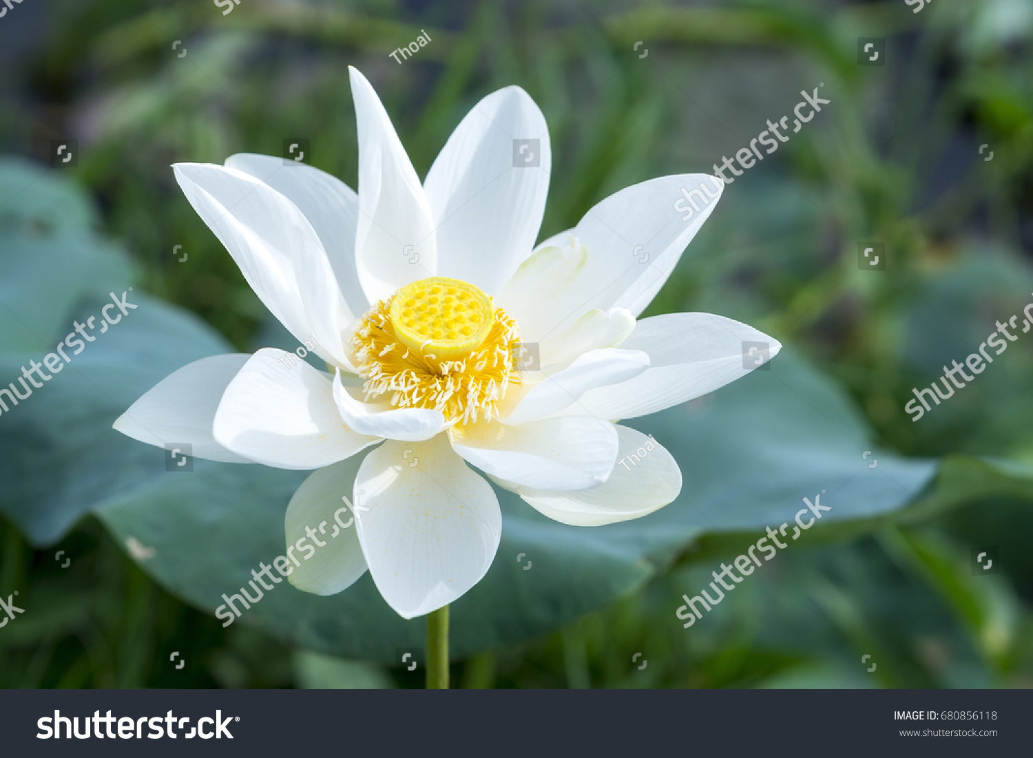 White Lotus Blossoming Pond This Flower Stock Photo Edit Now
