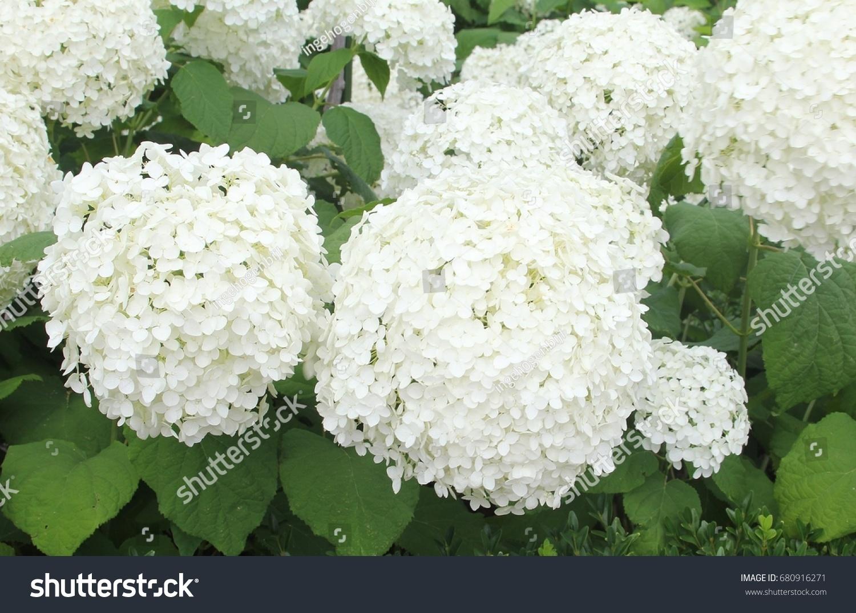 Big White Flowers Hydrangea Arborescens Annabelle Stock Photo Edit
