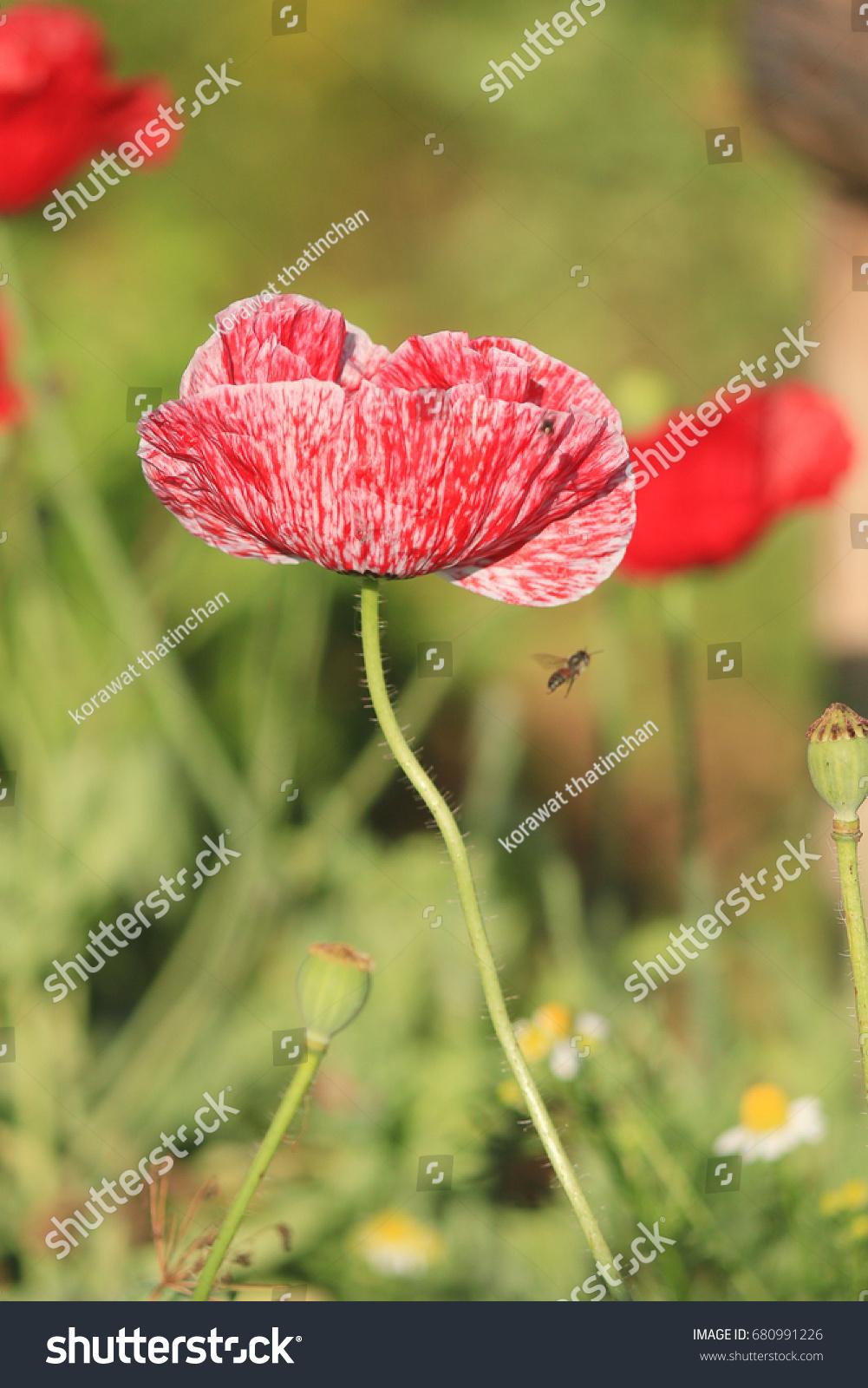 Opium Poppy Flowersopium Poppy Papaver Somniferum Stock Photo