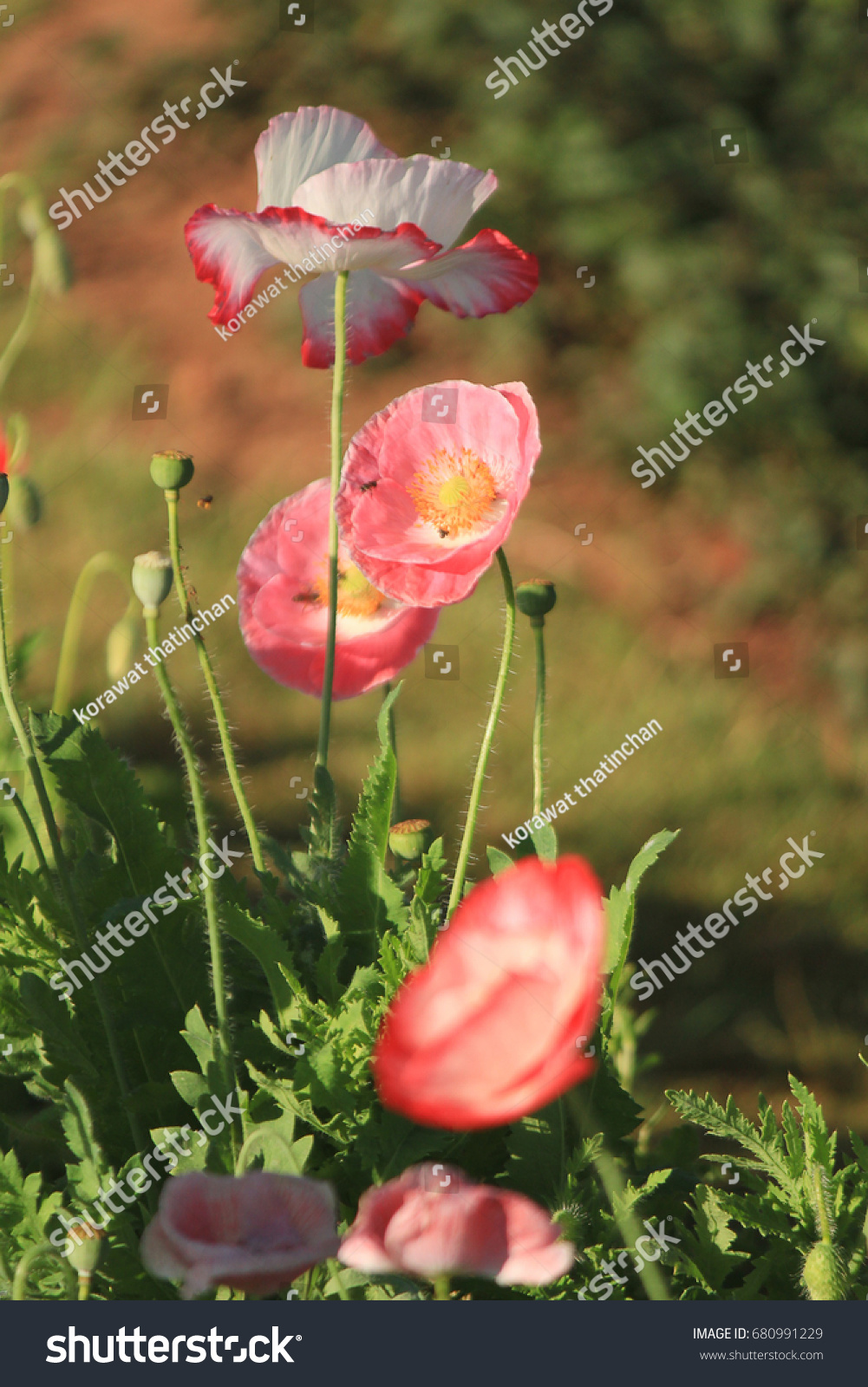 Opium Poppy Flowers Opium Poppy Papaver Somniferum Stock Photo