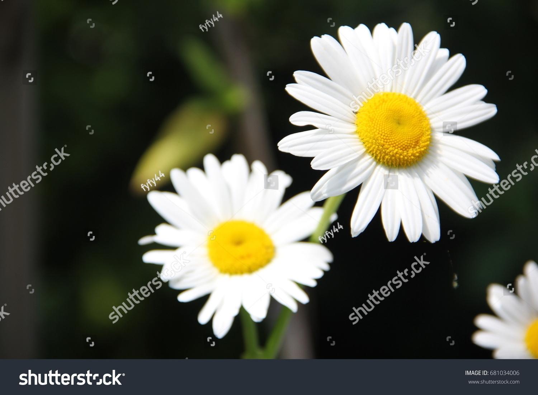 White Yellow Flower On Black Background Stock Photo Royalty Free