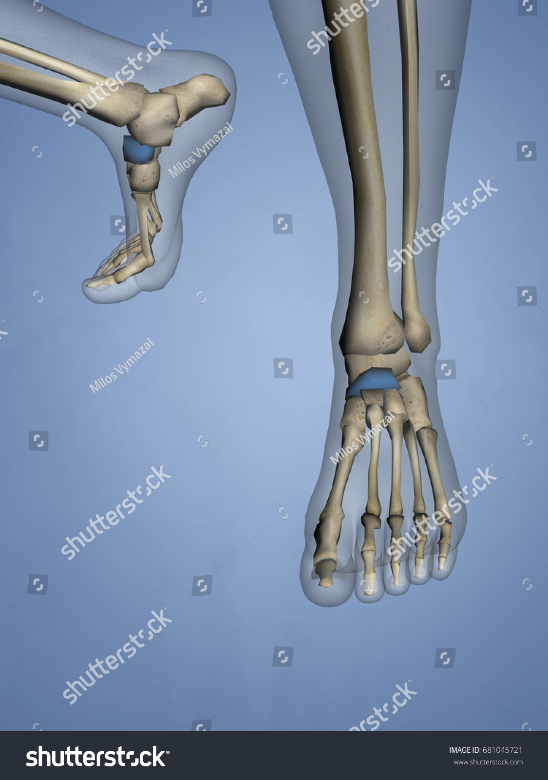Navicular Bone 3 D Model Stock Illustration 681045721 - Shutterstock