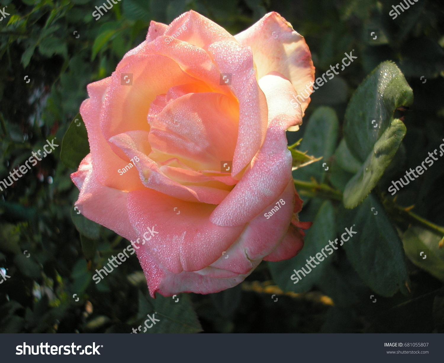 Rose queen flowers photo beautiful rose stock photo edit now rose is the queen of flowers photo of a beautiful rose in the garden izmirmasajfo
