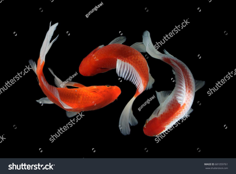 Koi Fish Stock Photo (Royalty Free) 681059761 - Shutterstock