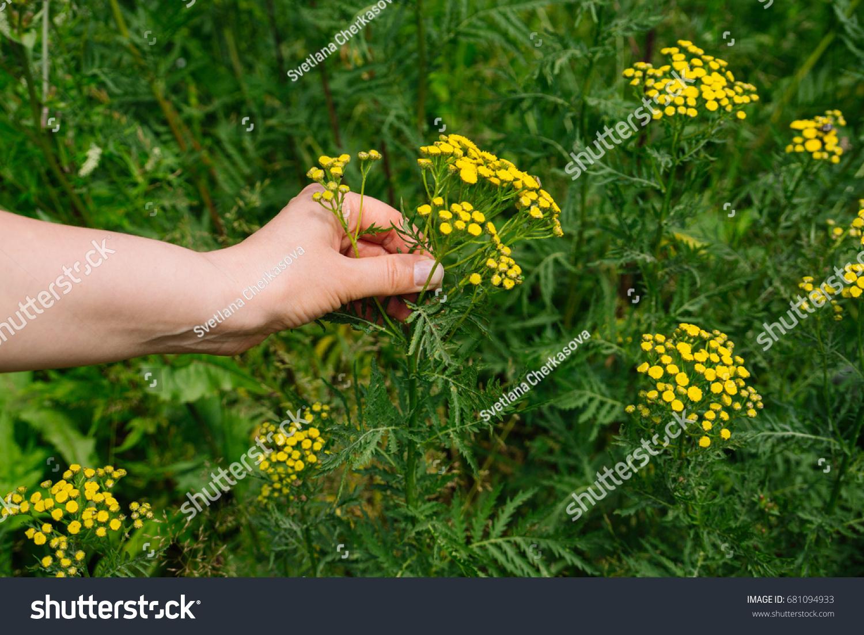 Woman gathers medicinal herbs alternative herbal stock photo edit woman gathers medicinal herbs alternative herbal medicine natural female hand picks yellow flowers mightylinksfo
