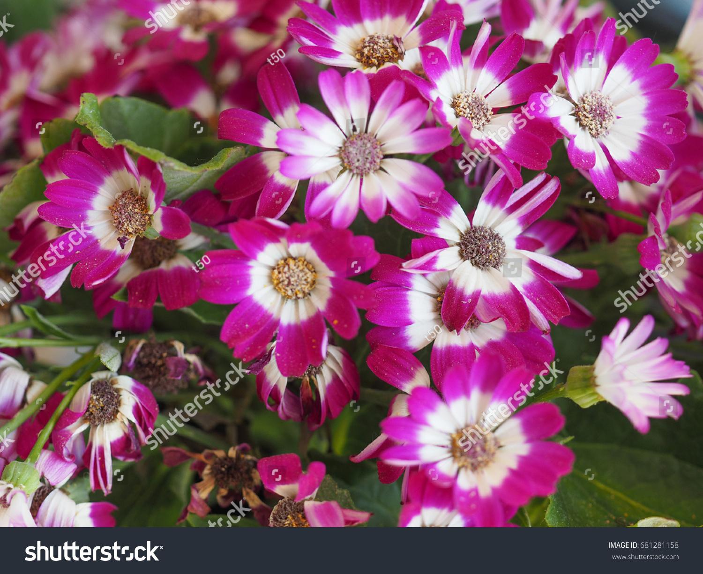 Purple daisy bellis perennis aka common stock photo edit now purple daisy bellis perennis aka common daisy or lawn daisy or english daisy flower izmirmasajfo