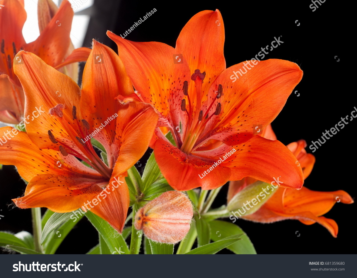 Tiger lily flower taken closeup ez canvas izmirmasajfo