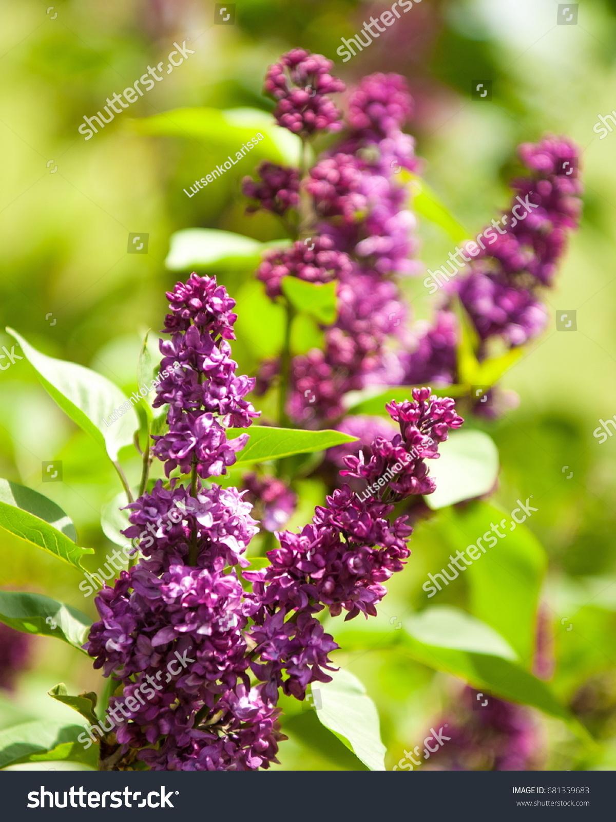 Lilac Flowers Large Garden Shrub Purple Stock Photo Edit Now