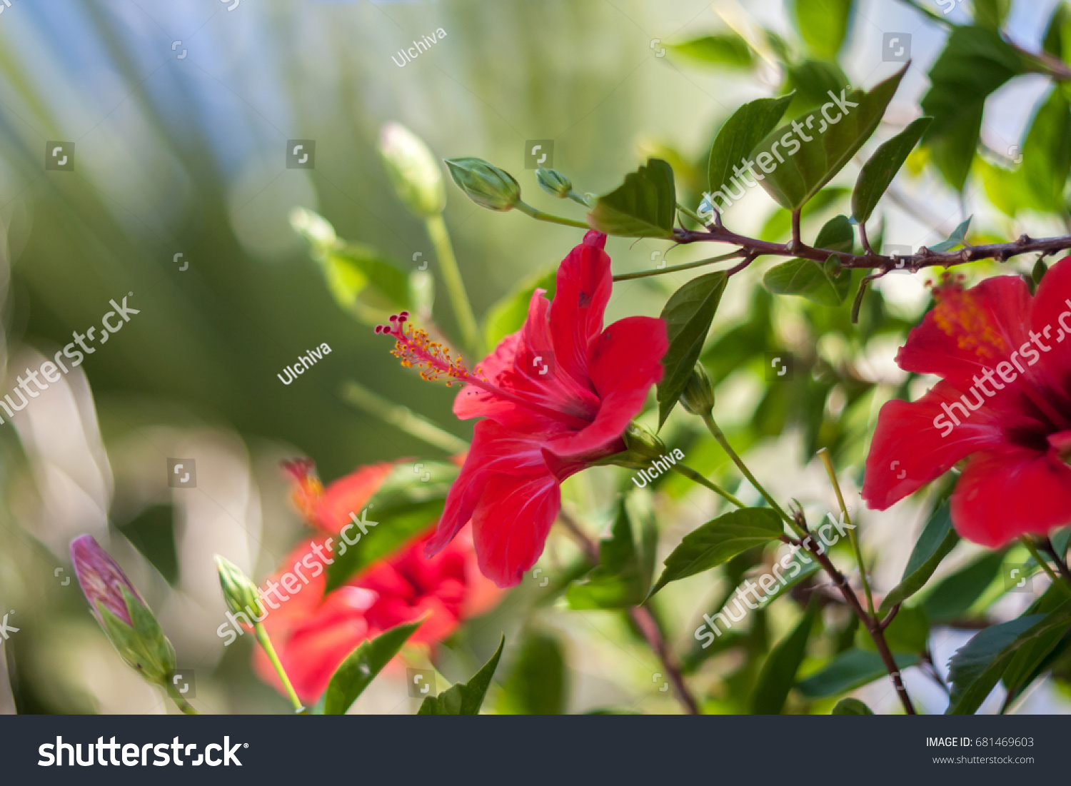 Red Hibiscus Flower On Green Background Stock Photo (Download Now ...