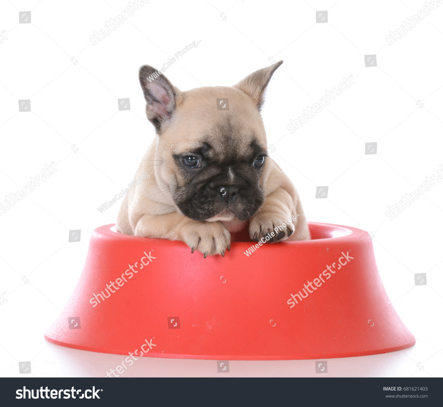 Adorable French Bulldog Puppy Inside Red Stock Photo Edit Now 681621403
