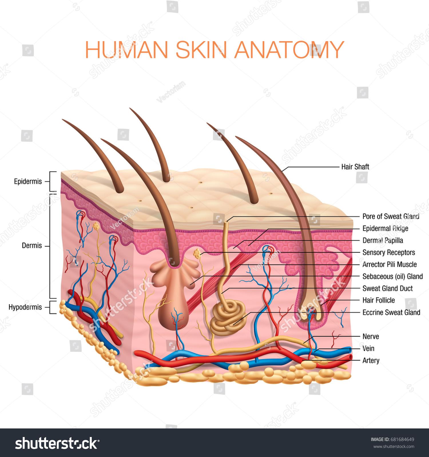 Human Skin Anatomy Vector Illustration Isolated Stock Vector