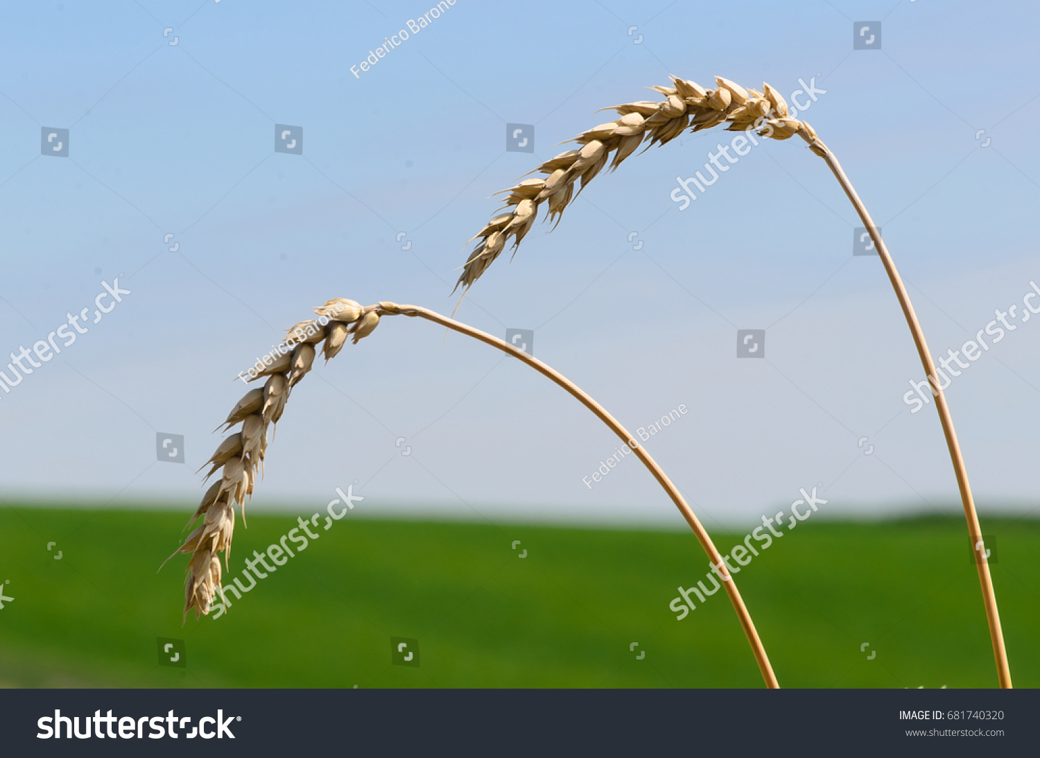 stock-photo-wheat-ears-leaning-under-the