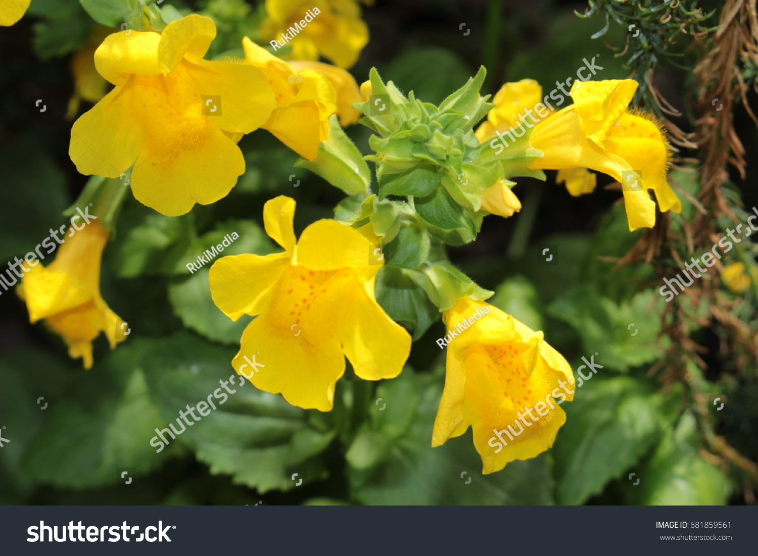 Red Spotted Yellow Monkey Flower Or Musk Flower Blood Drop Emlet