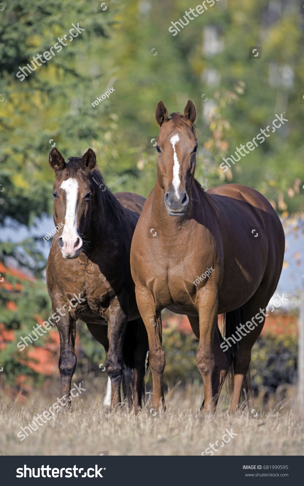Quarterhorse Thoroughbred Horse Standing Together Field Stock Photo Edit Now 681999595