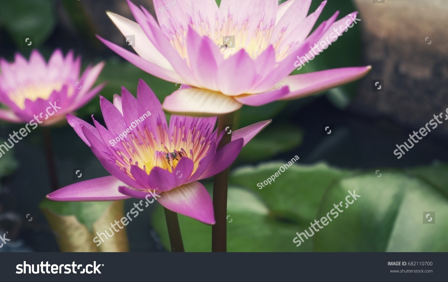 Close View Of Lotus Flower In A Morning Ez Canvas