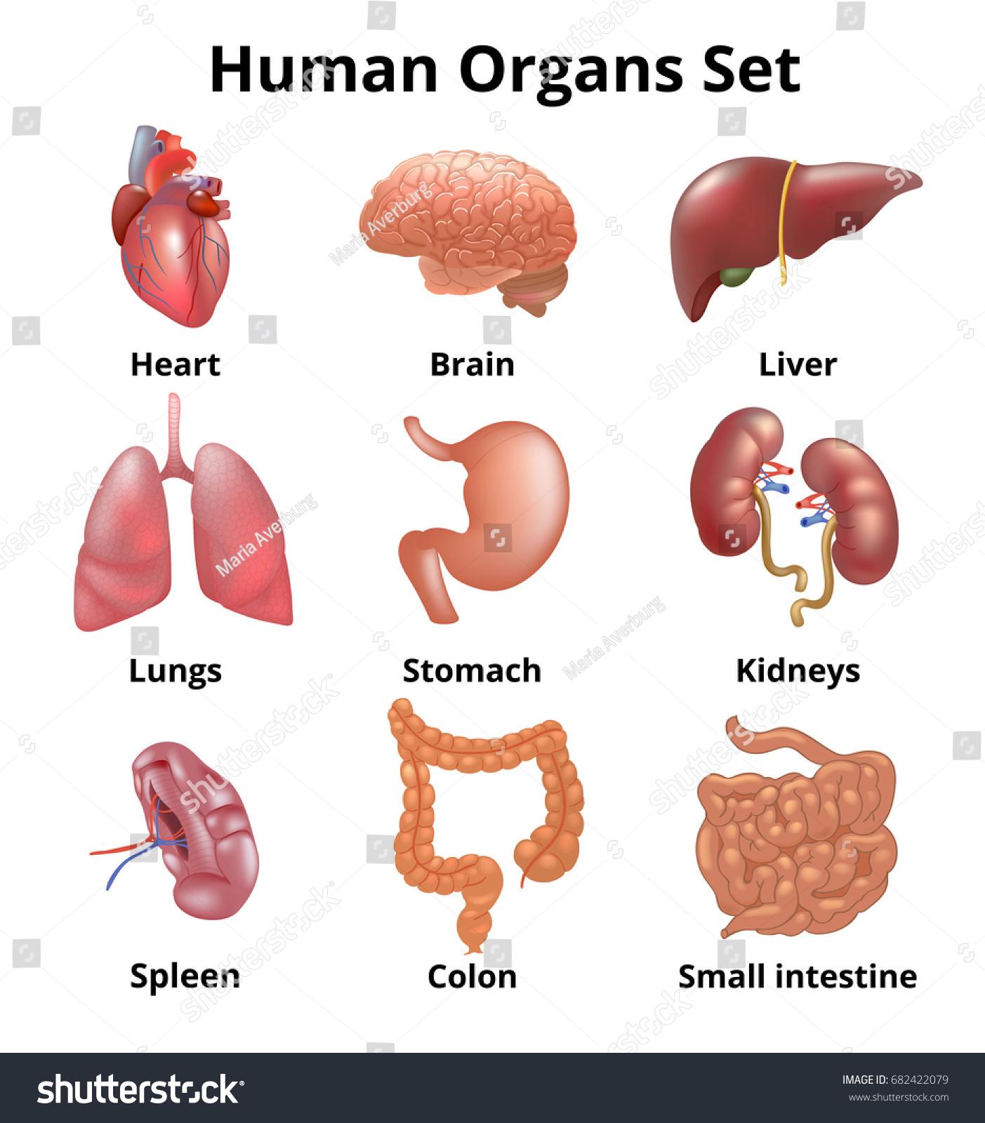 Realistic Human Organs Set Anatomy Stock Vektorgrafik Lizenzfrei