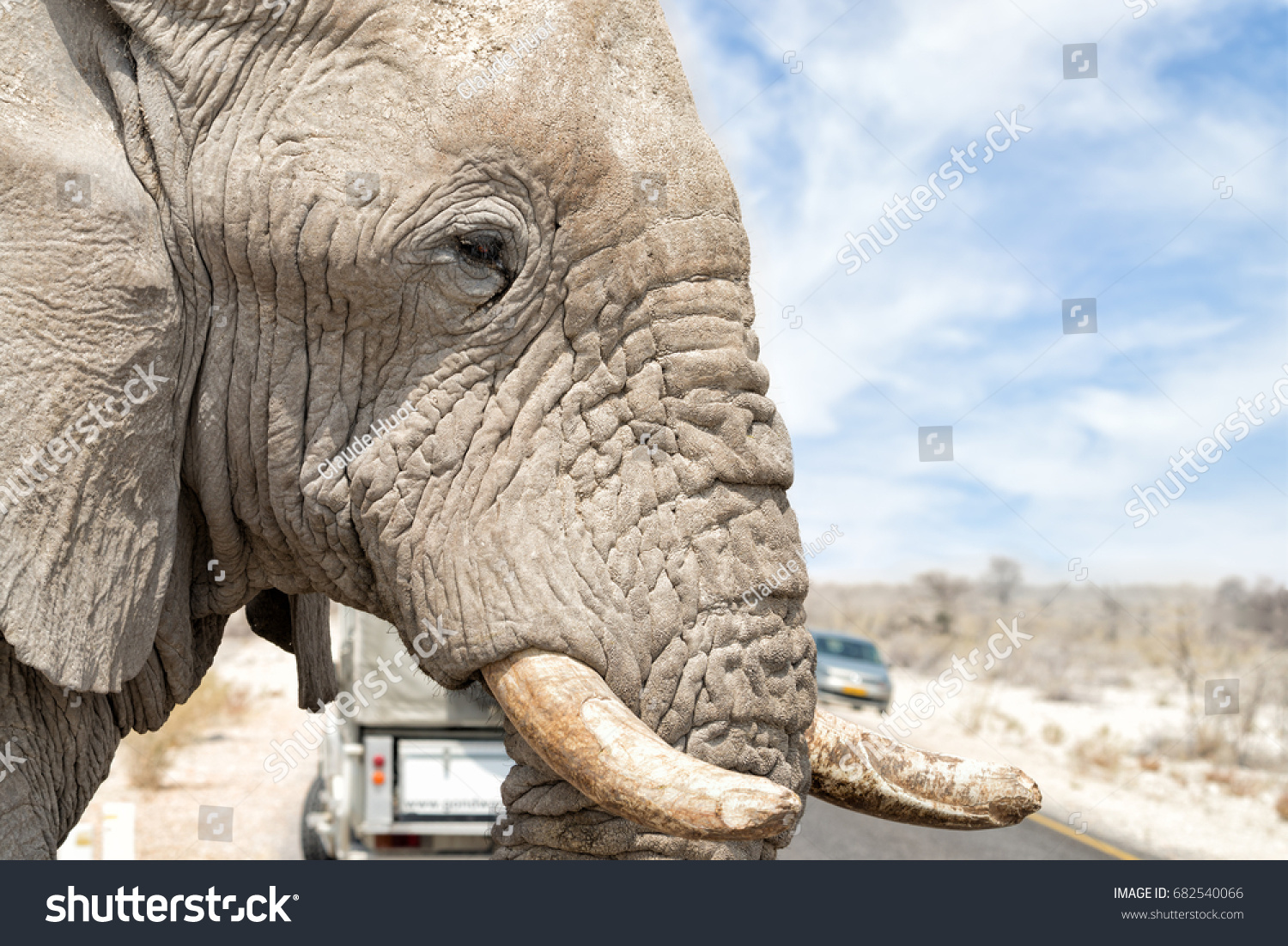 Close-up of large elephant (Loxodonta africana) crossing the road in between our vehicle and another one in front, Etosha National Park, Namibia. Shallow DOF.