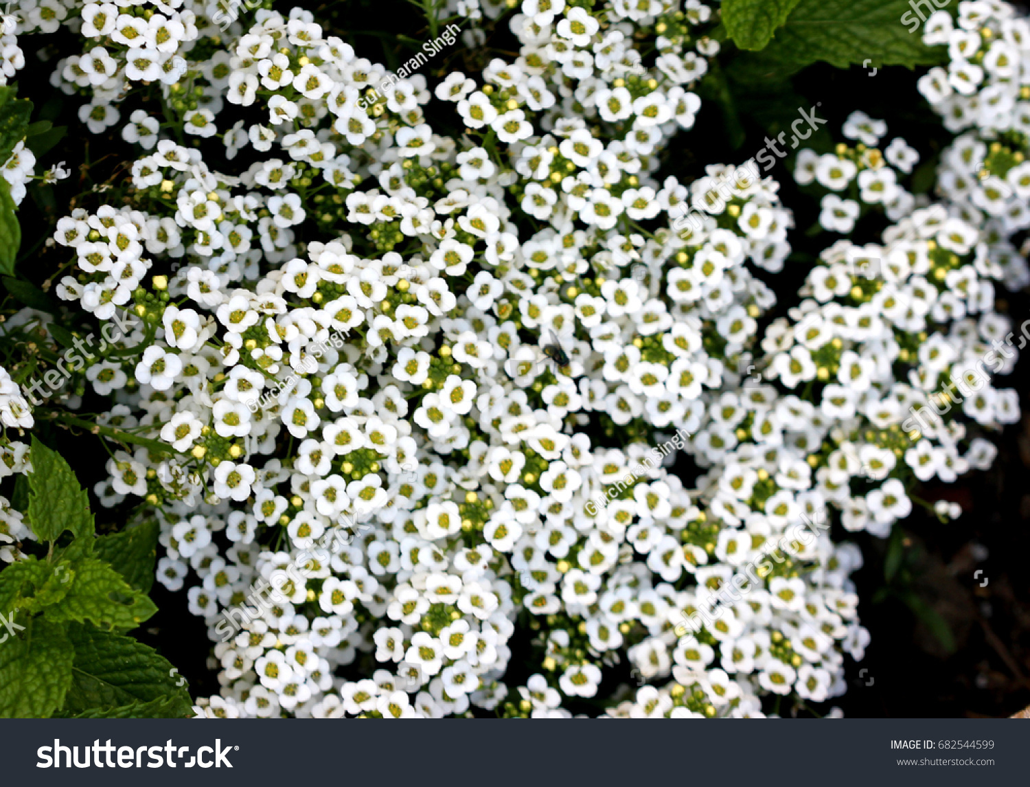 Lobularia Maritima Sweet Alyssum Sweet Alison Stock Photo Edit Now