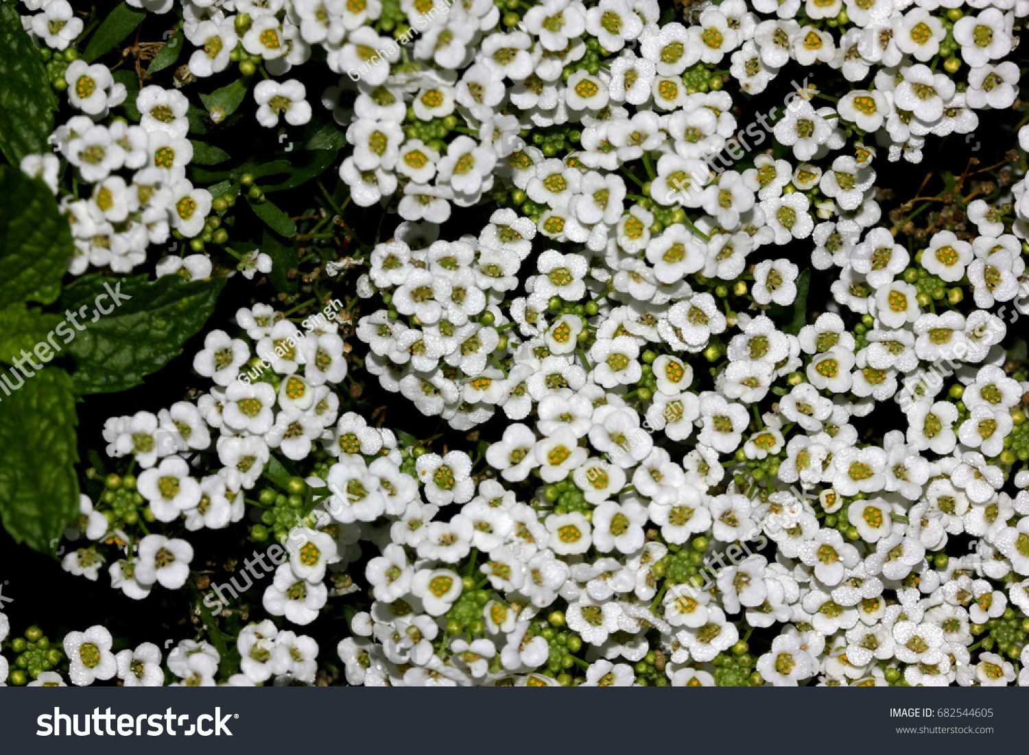 Pretty small white annual flowers pictures inspiration wedding and lobularia maritima sweet alyssum sweet alison stock photo 682544605 izmirmasajfo Images