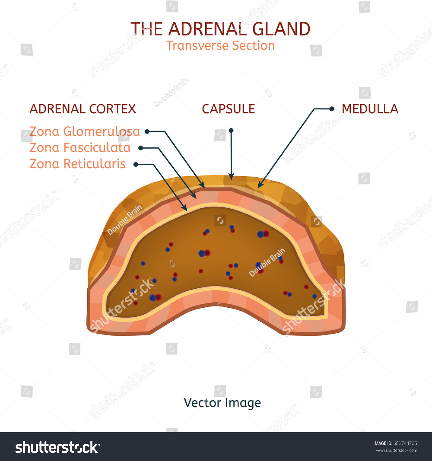 Human Adrenal Gland Image Cross Section Stock Vector Royalty Free