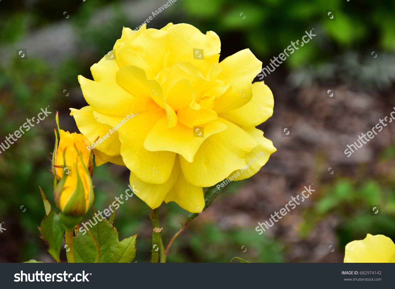 The Yellow Elder National Flower Of The Bahamas Ez Canvas